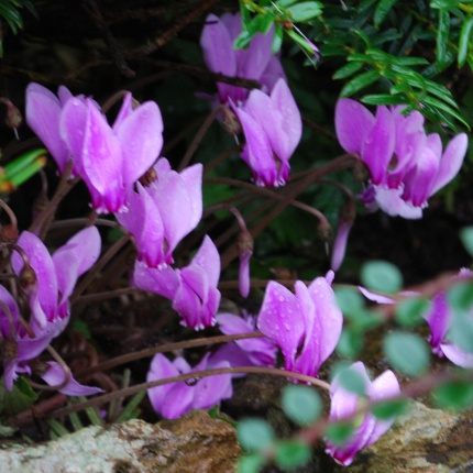 Cyclamen coum AGM