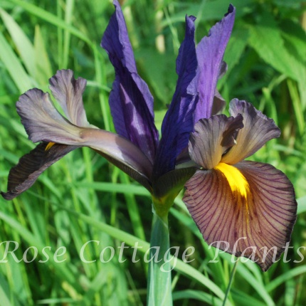 Iris hollandica 'Eye of the Tiger'