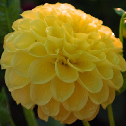Dahlia 'Golden Scepter'
