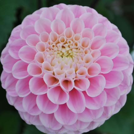 Dahlia 'Wizard of Oz'