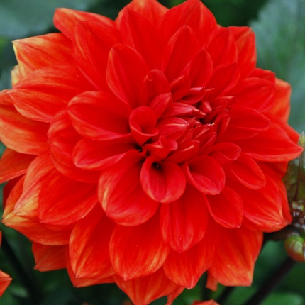 Dahlia 'Ellen Huston' AGM