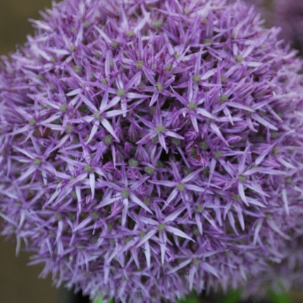 Allium 'Beau Regard' AGM