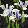 Iris reticulata 'Eye Catcher'