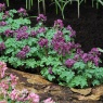 Corydalis 'Purple Bird'