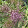 Allium schubertii group