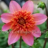 Dahlia 'Totally Tangerine'