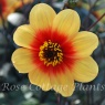 Dahlia 'Sunshine' (Moonfire)