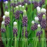 Muscari 'Grape Ice'