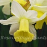 Narcissus 'Peeping Jenny'