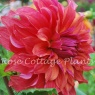 Dahlia 'Belle of Barmera'