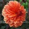 Dahlia Orange Pekoe