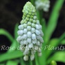 Muscari 'Baby's Breath'