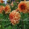 Dahlia 'Great Hercules'