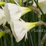 Narcissus bulbocodium 'White Petticoat'