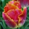 Tulipa 'Sunset Miami'