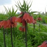 Fritillaria imperialis 'Red Beauty'