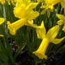 Narcissus 'Peeping Tom' AGM
