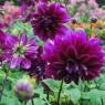 Dahlia 'Thomas A Edison' group