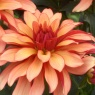 Dahlia 'Gallery Art Deco'