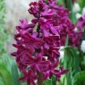 Hyacinth 'Woodstock'