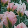 Tulip 'China Town' AGM