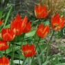 Tulipa whittallii major AGM