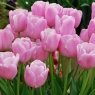 Tulipa 'Pink Diamond'