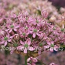 Allium 'Pink Jewel'