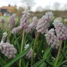 Muscari 'Pink Sunrise'