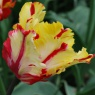 Tulipa 'Flaming Parrot'