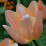 Tulipa 'Apricot Beauty' AGM