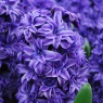 Hyacinth 'Royal Navy'