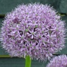Allium 'Gladiator' AGM